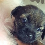 Border Terrier Puppies