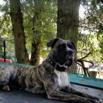 Cane Corso X American Bulldog Puppies