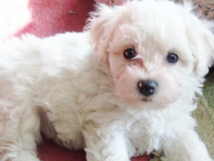 Pedigree Bichon Frise Boy Puppies