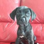 Cane Corso Italian Mastiff Puppy Black Girl