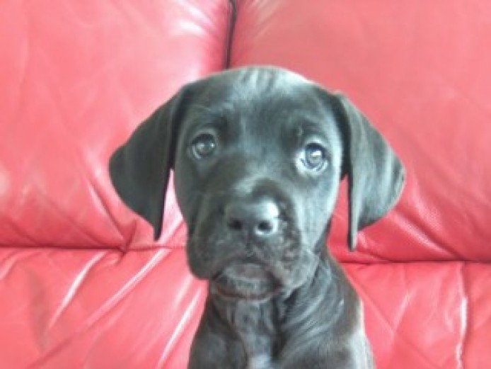 Cane Corso Italian Mastiff Puppy Black Girl