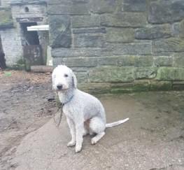 Pets  - Bedlington Terrier Stud
