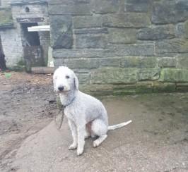 Bedlington Terrier Stud