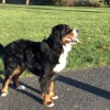 Pets  - Bernese Mountan Dog & German Shepherd Puppies