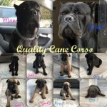 Cane Corso Puppies Champion Lines