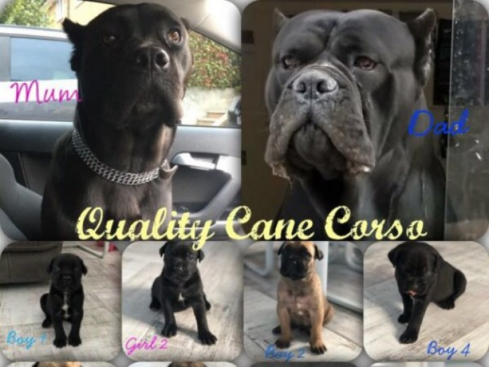 Cane Corso Puppies Champion Lines