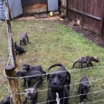 Cane Corso X Wheaton Greyhound Pups