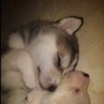 Malakita Puppies