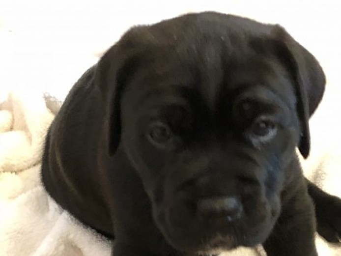 Cane Corso Puppies - Fci Pedigree 1500 Ovno