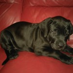 Quality Cane Corso Pick Of The Litter Boy