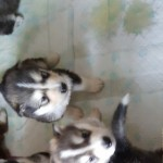 Alaskan Malamute Pups For Sale