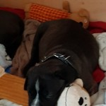 Cane Corso Puppys For Sale