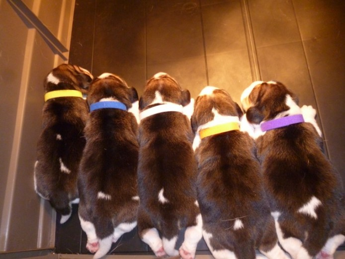 K.c Reg Beagle Pups For Sale