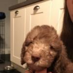 Beddlington Terrier Puppies
