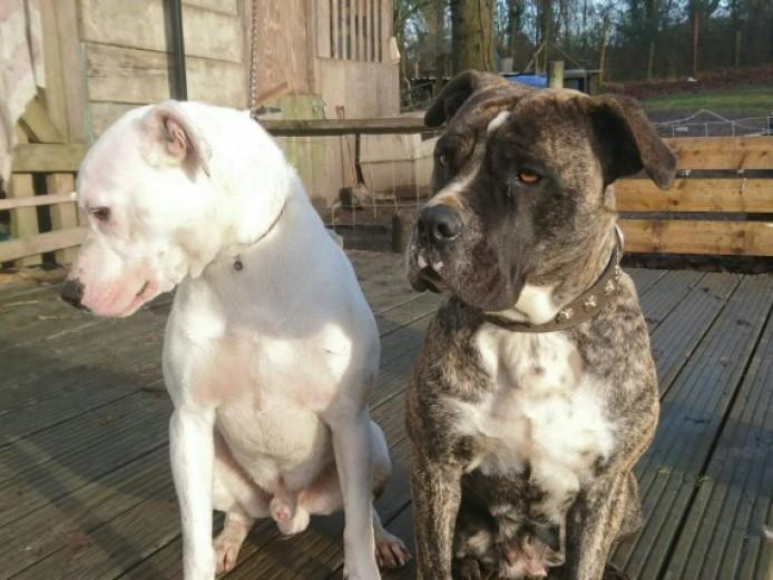 Superb American Bulldog X Cane Corso Pups