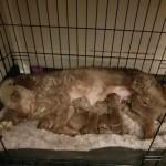 Bedlington Terrier Pups
