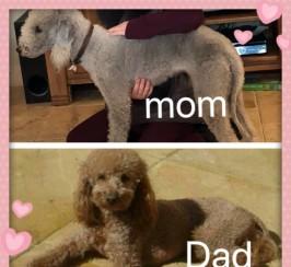 Beddypoos Mom & Dad Kc
