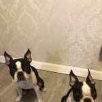 Wildax Kc Registered Boston Terrier Puppies