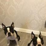 Wildax Kc Registered Boston Terrier Puppies
