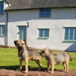 Border Terrier Puppies Kc Reg Champion Pedigree