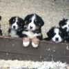 Pets  - Bernese Puppies For Sale