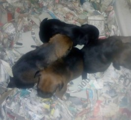 2 Beautiful Boy Border Terriers Pups