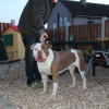 Pets for Sale - Alapaha Blue Blood Bulldog Pups