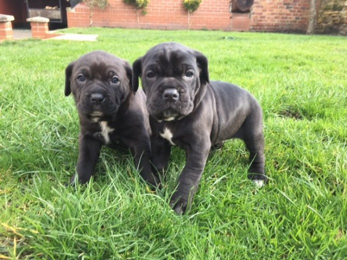 Beautiful Cane Corso Prue Breed Puppies For Sale